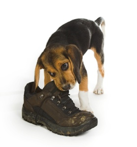 beagle chewing shoe