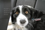 fearful-border-collies