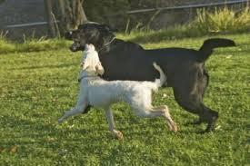 black-white dogs playing